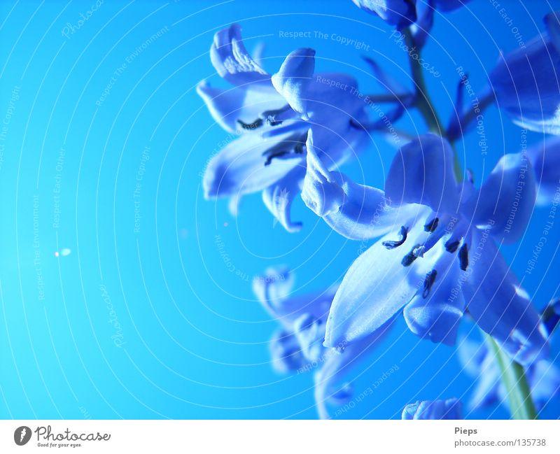 Maiblau (2) Farbfoto Außenaufnahme Detailaufnahme Textfreiraum links Tag Gegenlicht Freude ruhig Garten Natur Pflanze Himmel Wolkenloser Himmel Frühling Sommer