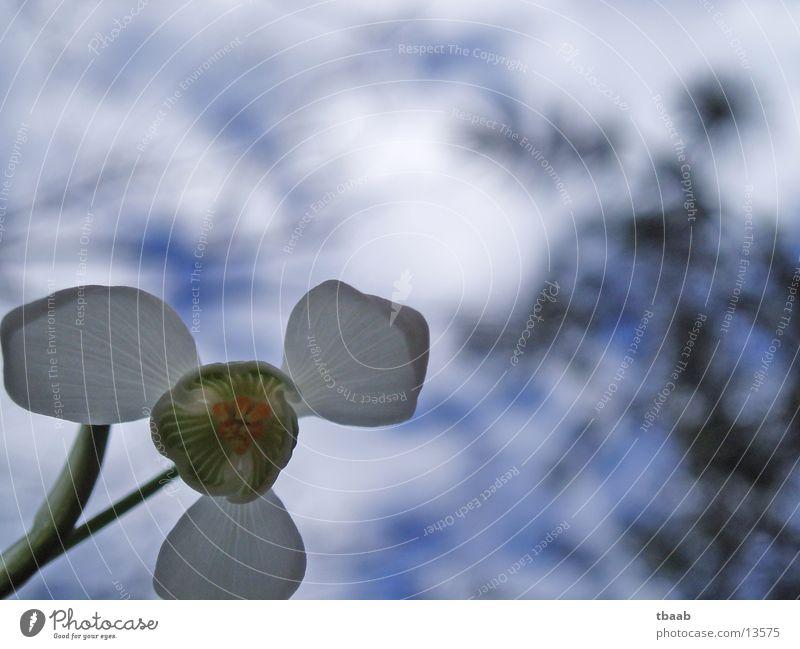 schneeglöckchen von unten Blume Frühling weiß Blüte Himmel blau Makroaufnahme Detailaufnahme