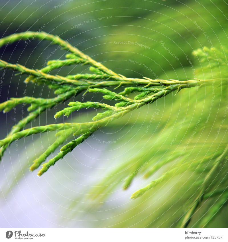 waldrauschen Tanne Baum grün Holzmehl Natur Park Wachstum Frühling Umwelt Umweltschutz Nadelbaum Forstwirtschaft Baumschule Sauerstoff Luft Garten Makroaufnahme