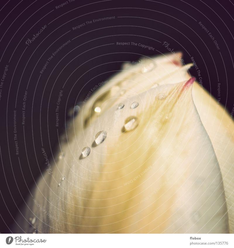 Tülpchen Tulpe rosa zart weich Liliengewächse Blume Blüte gelb beige Physik Pflanze Blumenladen Niederlande Frühling springen Beet Blumenbeet Wassertropfen