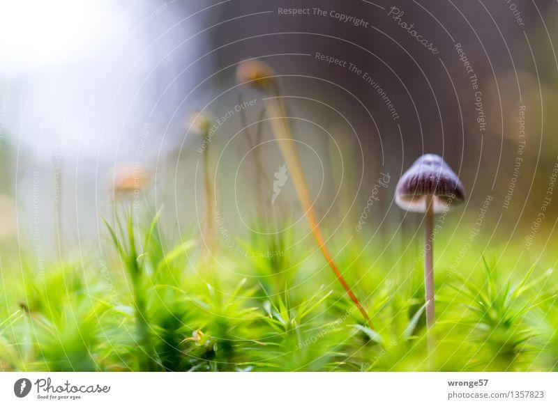 Winzling im Moos Natur Pflanze blau grün Wald Herbst natürlich klein braun violett nah Pilz Grünpflanze gigantisch Waldboden