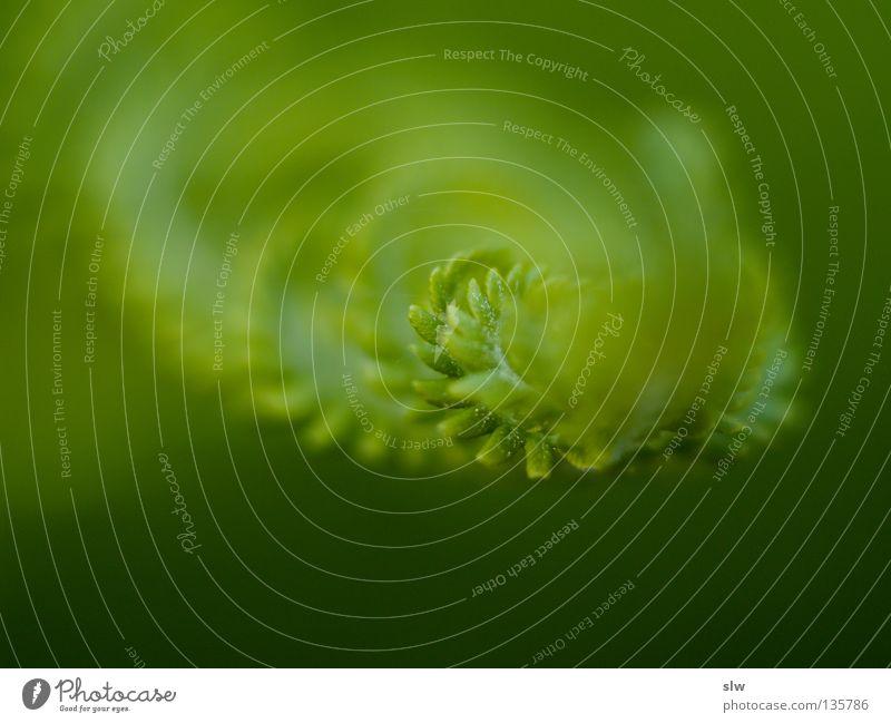 Flora & Fauna Natur grün Pflanze frisch Urwald Echte Farne Makroaufnahme