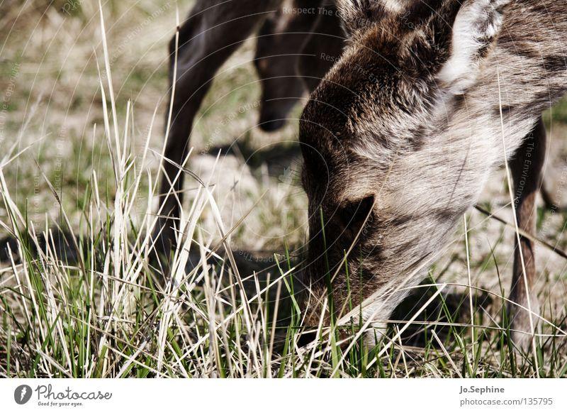 miezekatze IV Natur Tier Gras Kopf braun Wildtier wild trocken Weide Fressen Säugetier Vorsicht Dürre Schüchternheit Ödland Reh