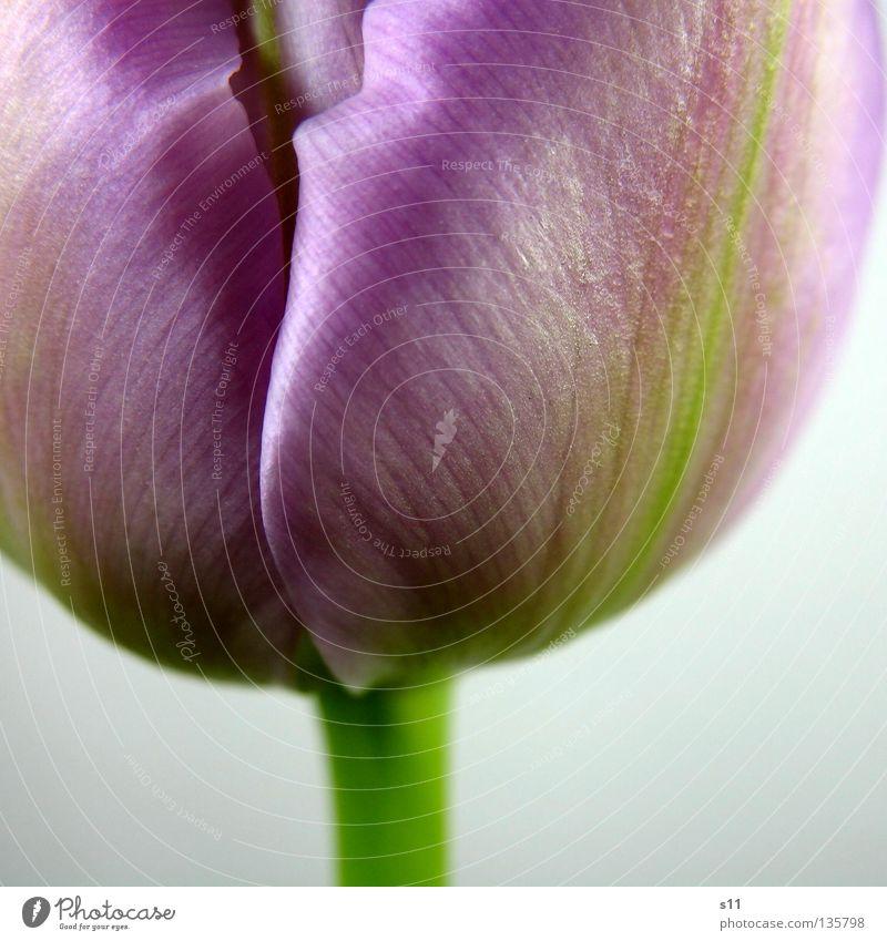 Tulipa Viola grün Blume Frühling Blüte Linie violett Falte Stengel Jahreszeiten Tulpe Furche Blütenblatt Veilchengewächse Makroaufnahme Knollengewächse