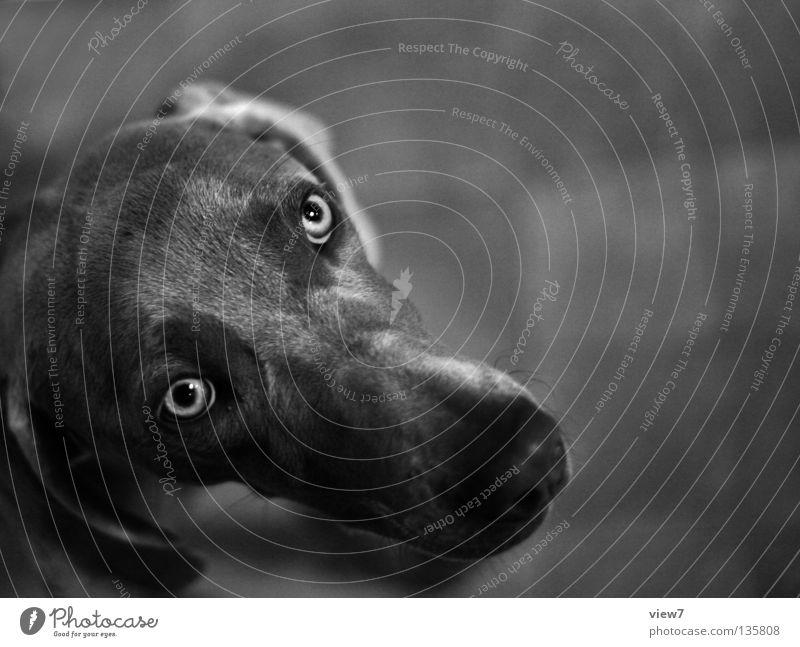 Hundeblick schwarz Auge grau Nase Tiergesicht Säugetier Haustier Schnauze Jagdhund betteln Weimaraner Haushund Hundeschnauze