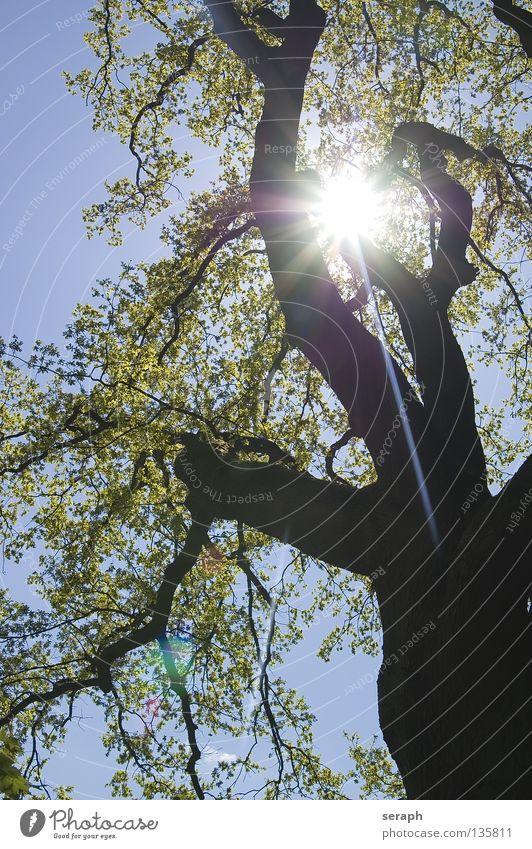 Sonnenbaum Baum Blatt Baumkrone Wald grün Baumrinde Holz Licht Umweltschutz Kohlendioxid Sauerstoff Koloss alt vertikal Irrgarten Sommer Vernetzung Geäst Wunsch
