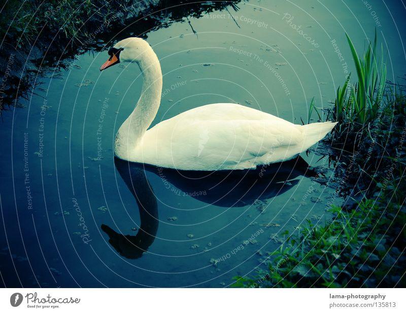 Schlichte Eleganz Schwan Höckerschwan Gans gleiten Schweben See Bach Reflexion & Spiegelung elegant weiß Gras Schilfrohr Erholung Tier Schnabel Vogel Farbe