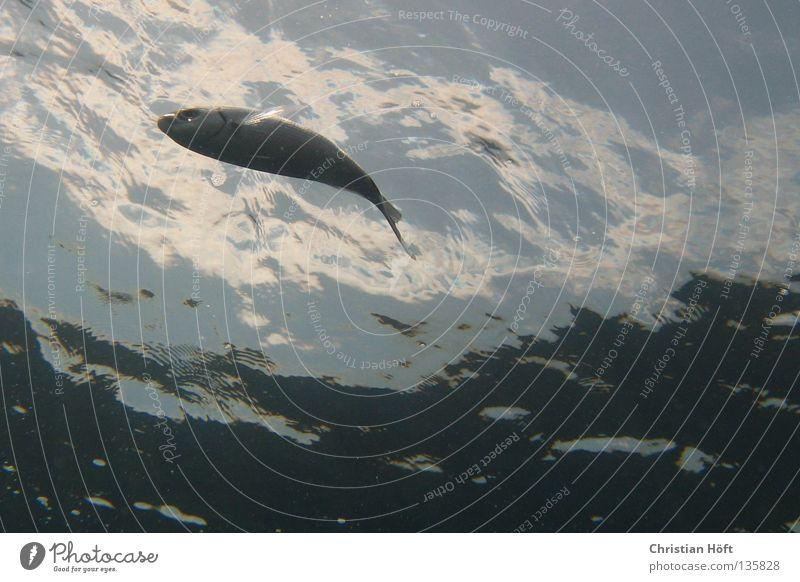 Silberfisch tauchen Meer Fisch Wasser Unterwasseraufnahme silber blau Wasserspiegel Schwimmen & Baden