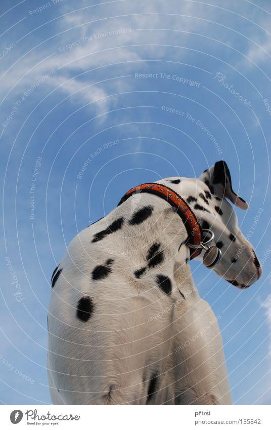 Wegsehen Hund Dalmatiner Haustier Tier gepunktet Dalmatien schwarz weiß Halsband Blick rechts Froschperspektive Wolken Säugetier Himmel blau dalmatian dalmation