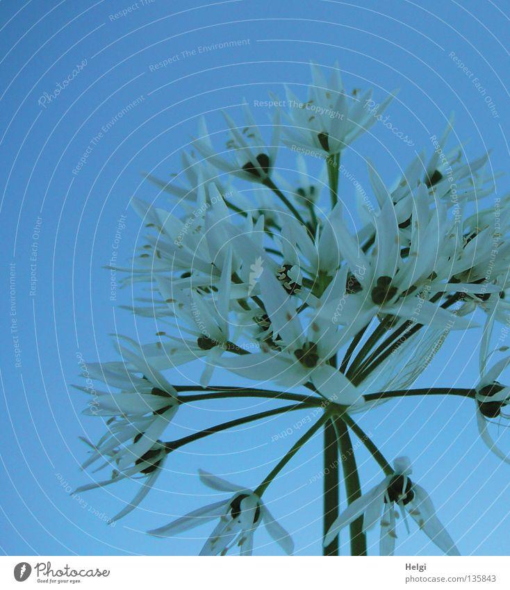 im Schatten stehn... Himmel Natur blau weiß grün Pflanze Blume Frühling Blüte Gesundheit Wachstum Stern (Symbol) Spitze Blühend lang dünn