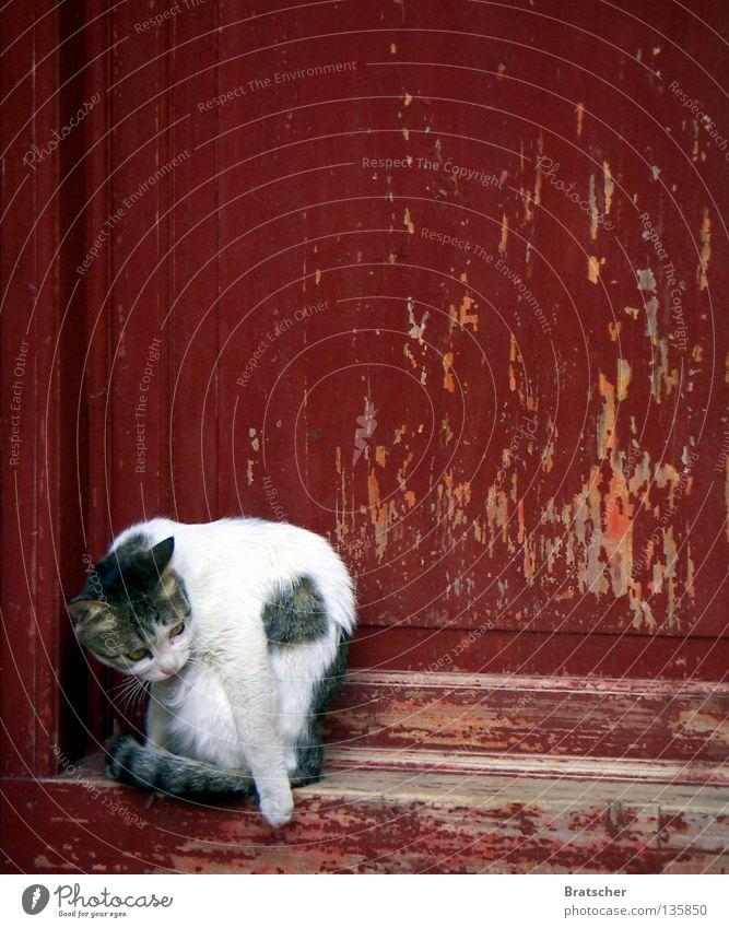 #100: Tempelkatze Katze rot Herbst Tür China Langeweile Säugetier Asien Jubiläum Tibet