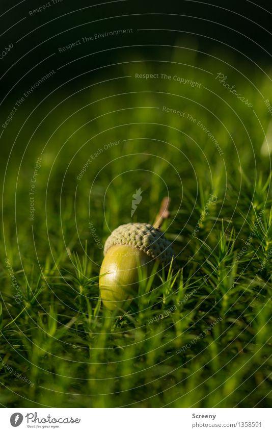 Aschenbrödels letzter Wunsch... Natur Pflanze Herbst Schönes Wetter Moos Eicheln Wald klein grün Farbfoto Außenaufnahme Makroaufnahme Menschenleer Tag