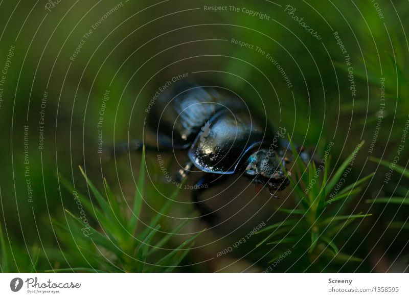 Durch den Moos-Wald.... Natur Pflanze Tier Herbst Käfer Mistkäfer 1 krabbeln klein grün schwarz Farbfoto Außenaufnahme Makroaufnahme Menschenleer Tag