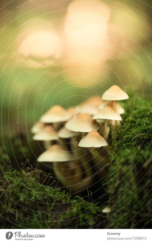 Zusammenhalt Natur Pflanze Erde Herbst Moos Wald Wachstum klein gelb grün Schutz Zusammensein geduldig ruhig Pilz Hallimasch Farbfoto Außenaufnahme