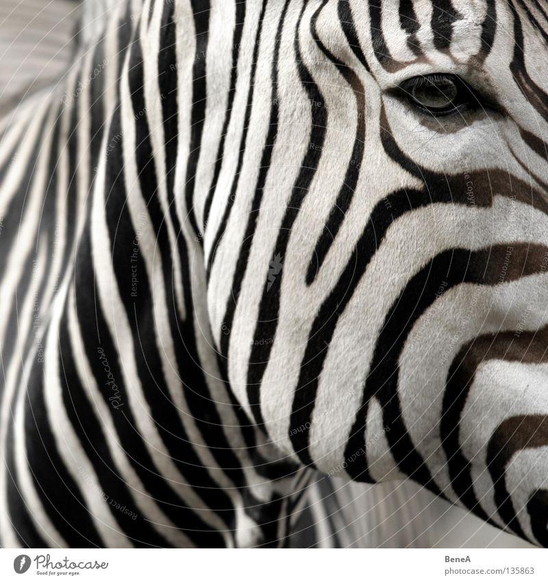 Z Natur weiß Ferien & Urlaub & Reisen schwarz Tier Auge Haare & Frisuren Pferd Wildtier Streifen Afrika Fell Zoo Hals Säugetier