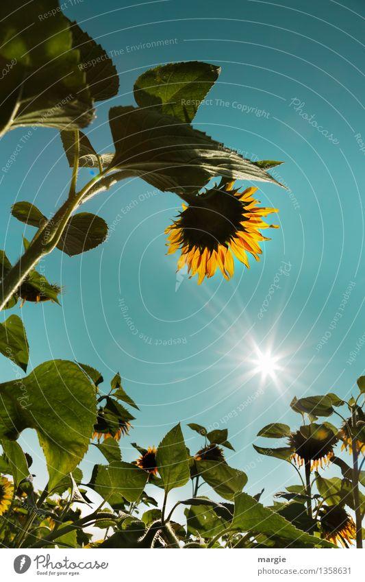 Verneigung: Sonnenblumen mit blauem Himmel und einer strahlenden Sonne Umwelt Natur Pflanze Wolkenloser Himmel Sonnenlicht Sommer Klima Wetter Schönes Wetter