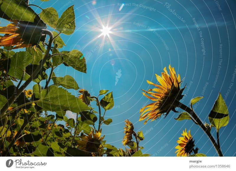 Sonnenblumen mit blauem Himmel und einer strahlenden Sonne Umwelt Natur Pflanze Tier Wolkenloser Himmel Sonnenlicht Schönes Wetter Blume Blatt Blüte Grünpflanze