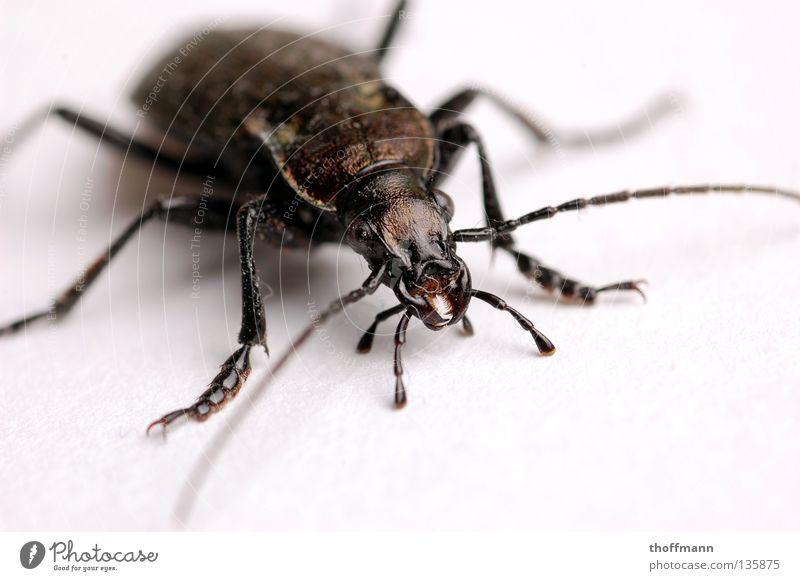 Das große Krabbeln Beine Angst Rücken Bodenbelag nah Insekt gruselig Ekel Panik Käfer Fühler krabbeln Kiefer Panzer gepanzert vergrößert
