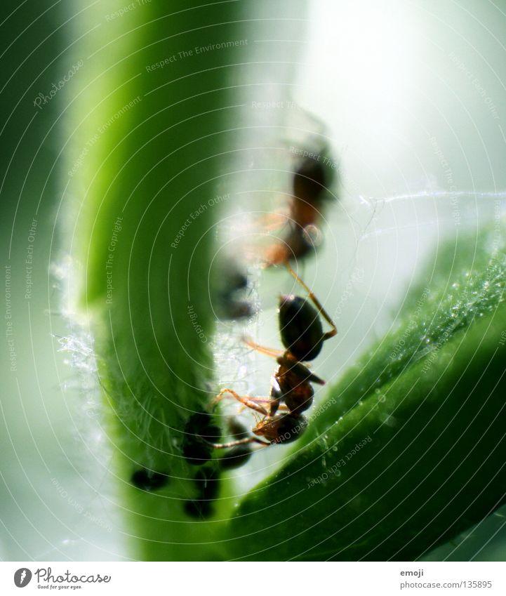 AmeisenPAAR grün Pflanze Tier klein nah Insekt Ameise Retroring Laus Blattläuse