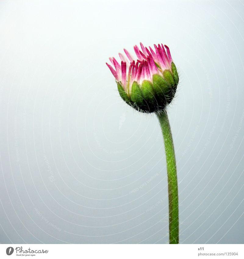 Little Pink Princess Natur weiß grün Pflanze Blume Einsamkeit Wiese Gras klein Blüte Hintergrundbild rosa geschlossen Wachstum leuchten Gänseblümchen