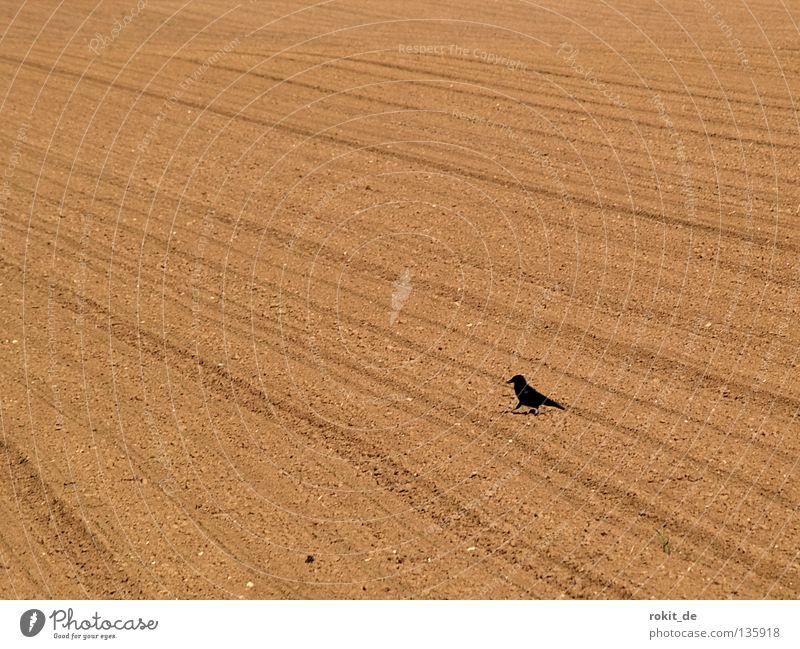 1, 2, 3, 4, Eckstein, alles muss versteckt sein Rabenvögel Vogel Feld Saatkrähe Aussaat säen austreiben Reifenspuren Einsamkeit Feder schwarz