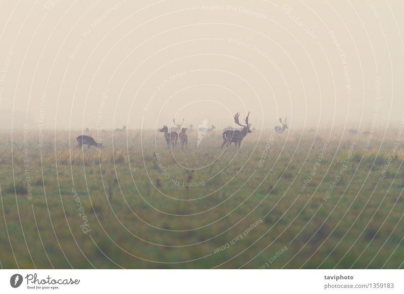 Damwild in der Paarungszeit schön Spielen Jagd Mann Erwachsene Umwelt Natur Landschaft Tier Herbst Nebel Gras Park Wald Brunft groß braun Hirsche Tierwelt