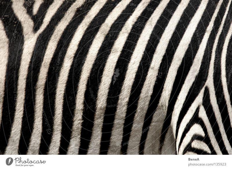 Zz Natur weiß Ferien & Urlaub & Reisen schwarz Tier Haare & Frisuren Rücken Pferd Afrika Streifen Fell Zoo Wildtier Bauch Säugetier Teppich