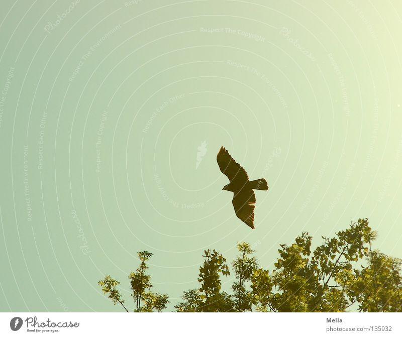 Phoenix Umwelt Natur Tier Himmel Baumkrone Vogel Flügel Bussard Mäusebussard 1 fliegen frei hoch natürlich oben Spitze blau grün Freiheit Farbfoto Außenaufnahme