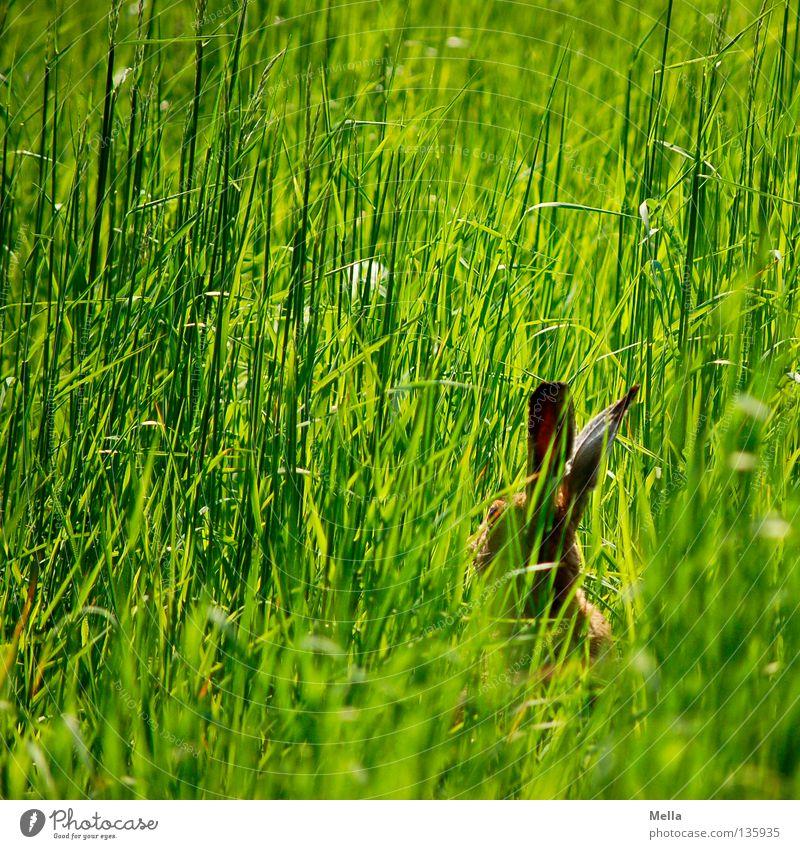 Häschen in der Grube Ostern Umwelt Natur Tier Frühling Gras Wiese Wildtier Hase & Kaninchen Hasenohren 1 hocken sitzen warten frei natürlich niedlich grün
