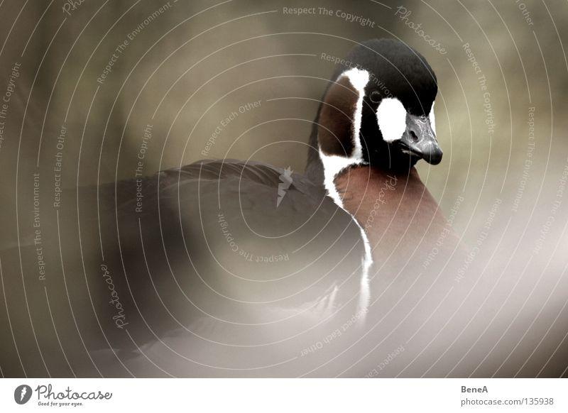 Gustav G. Gans Vogel schwarz weiß braun rot dunkel Schnabel Tier Wildtier Wildvogel Zoo Sträucher verdeckt Tarnung Rothalsgans Branta ruficollis Gänsevögel