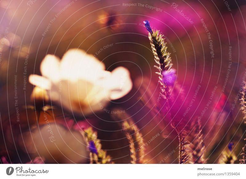 Herbstlicht elegant Stil Natur Pflanze Sonne Schönes Wetter Blume Gras Sträucher Blüte Wildpflanze Blumenwiese Garten Herbstleuchten Farbfleck Lichteinfall