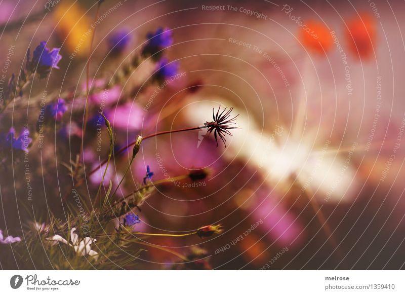 spätsommerlich elegant Stil Umwelt Natur Erde Herbst Schönes Wetter Pflanze Blume Gras Sträucher Blatt Blüte Wildpflanze Blumenwiese Wiese Farbfleck Blühend