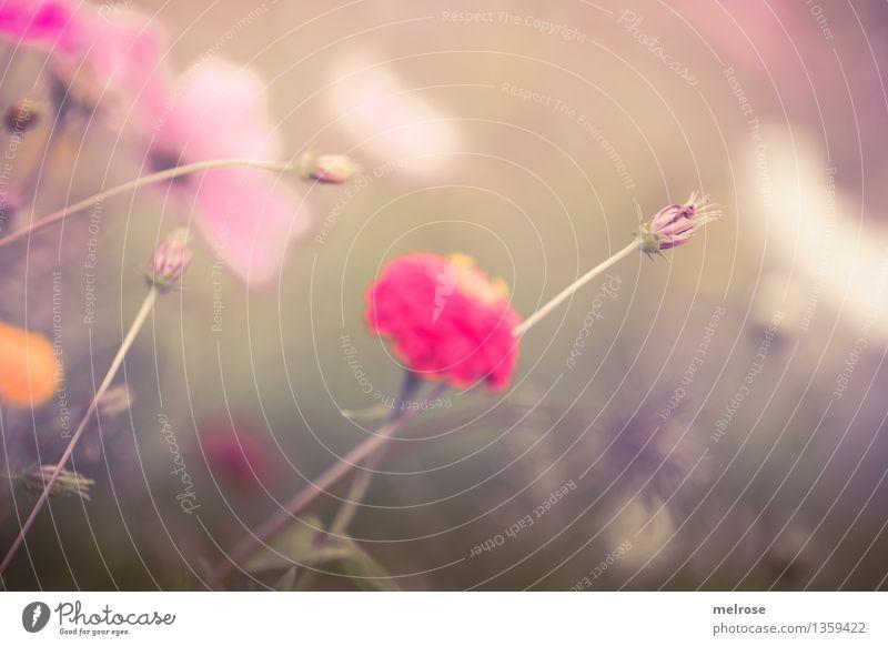 pastellig elegant Stil Umwelt Natur Pflanze Herbst Schönes Wetter Blume Gras Blüte Wildpflanze Blütenknospen Pflanzenteile Blütenstiel Wiese Farbtupfer Blühend