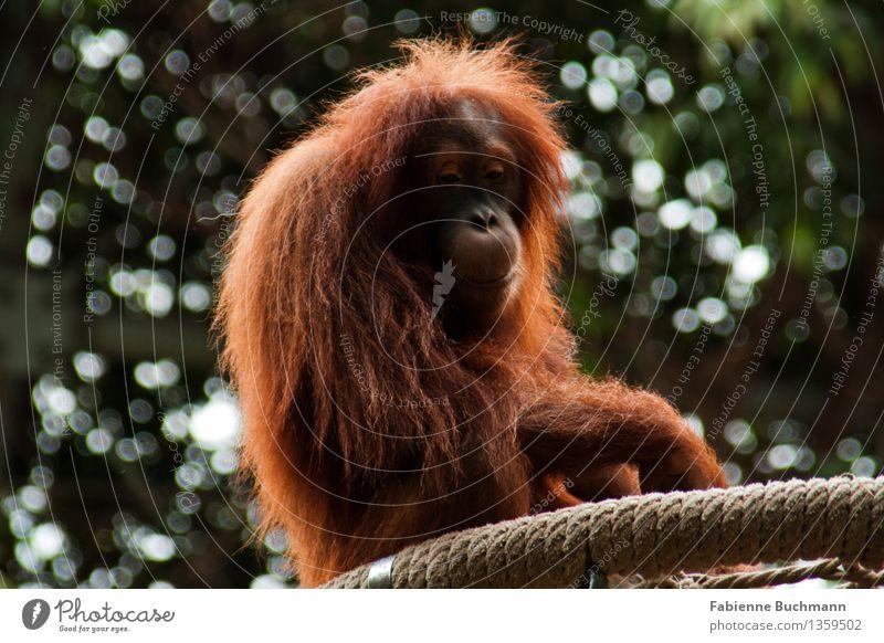 nicht ganz glücklich Tier Wildtier Tiergesicht Fell Zoo Affen Orang-Utan Seil Gehege Traurigkeit gefangen 1 braun grün rot weiß Einsamkeit Farbfoto