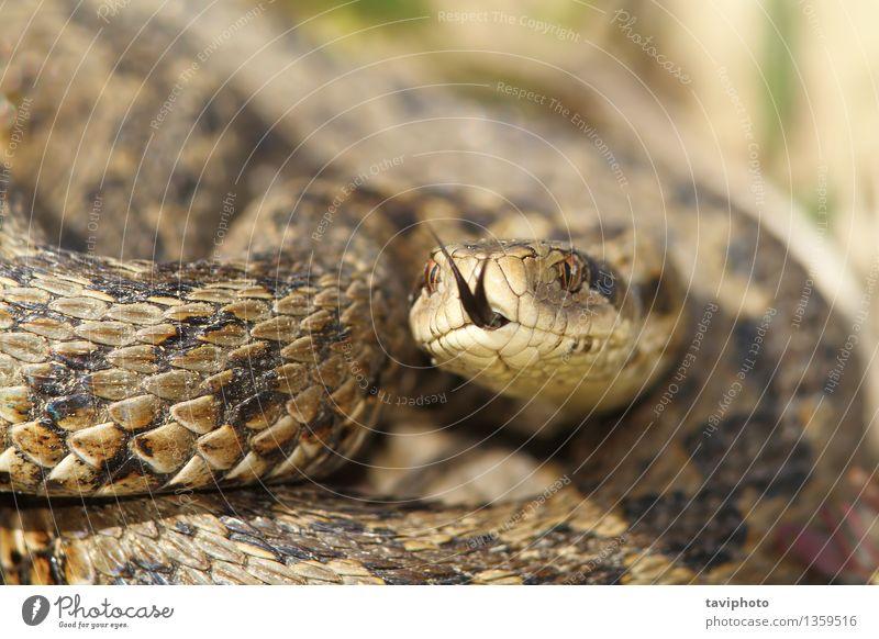 Makrobild einer Wiesenviper schön Natur Tier Schlange wild braun Angst gefährlich Reptil Rakkosiensis ursinii Natter Ottern Vipera Tierwelt giftig Schuppen