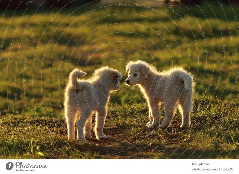 Schäferhundwelpen, die im Sonnenunterganglicht spielen Hund Natur schön Farbe Sommer weiß Freude Tier Gras lustig Spielen Glück klein Zusammensein Freundschaft