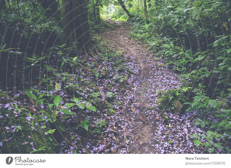 Mein Weg. Umwelt Natur Landschaft Pflanze Erde Sommer Herbst Klima Baum Blume Sträucher Blatt Blüte Wiese Wald Urwald Tarapoto Peru Südamerika exotisch violett