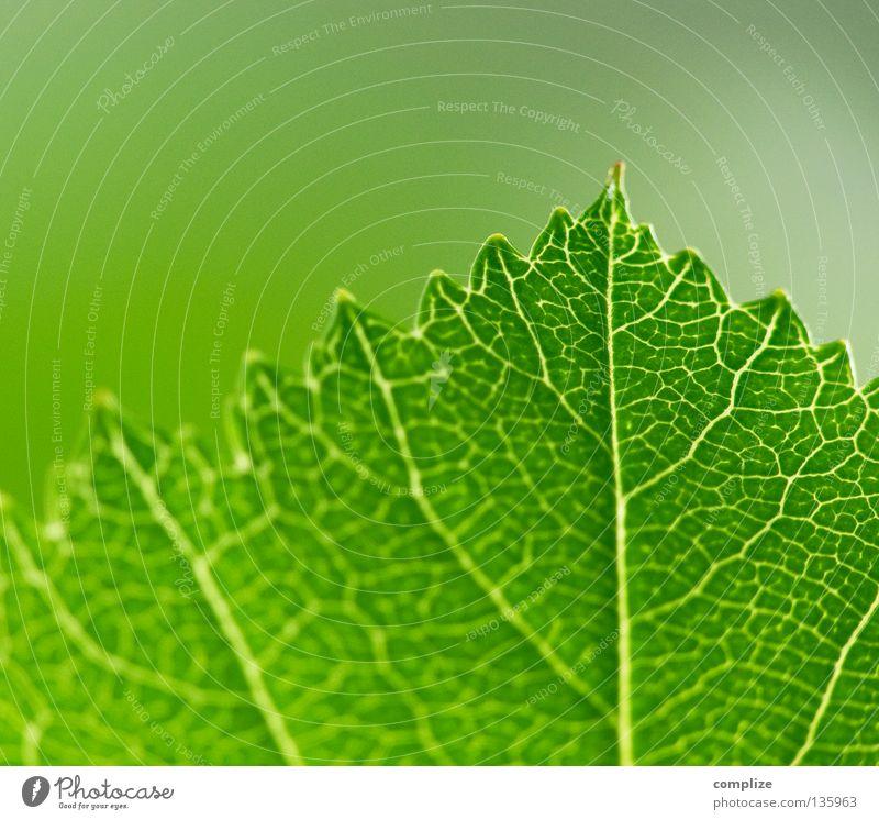 leaf Natur grün Baum Pflanze Sommer Blatt Leben Frühling Linie Sträucher Ecke Bioprodukte Biologische Landwirtschaft Blauer Himmel Gefäße Wurzel