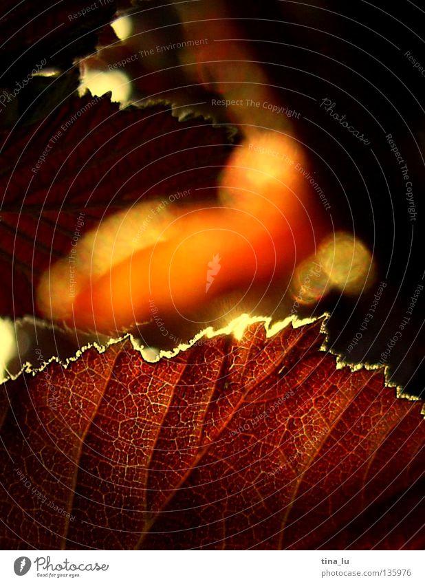 Abendsonne glänzend Physik heizen Blatt Sträucher Baum rot Sommer Herbst brennen Am Rand Ecke glühen Sehnsucht mehrfarbig Geborgenheit Pflanze Abenddämmerung