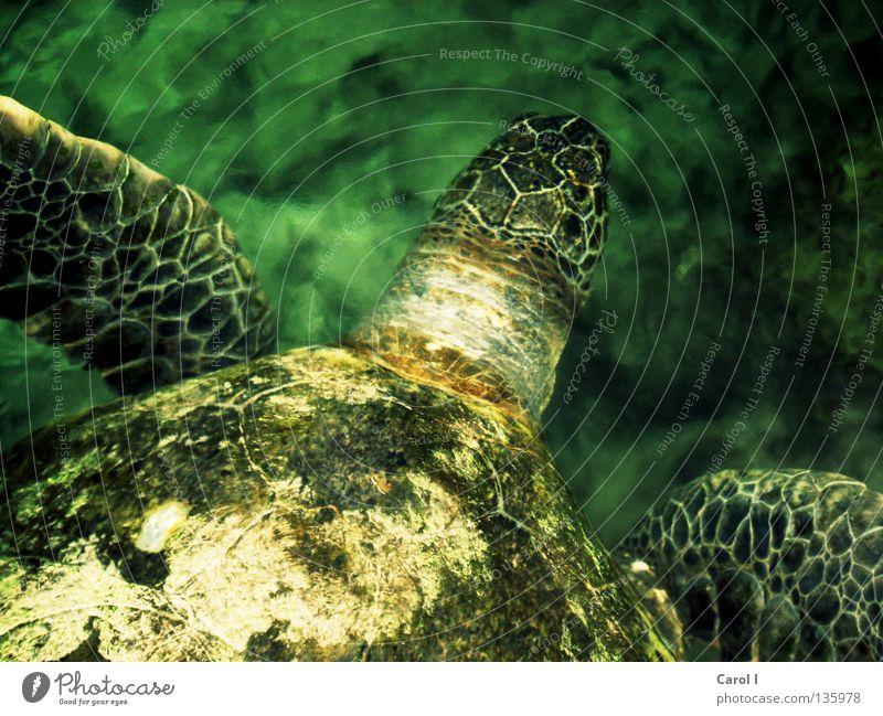 steinalt Schildkröte Wasserschildkröte grün Tier tauchen Findet Nemo Muster Wellen Leben türkis zyan Unterwasseraufnahme wellig Geschwindigkeit