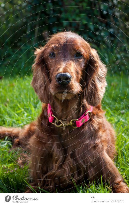 Sunsetter Hund Ferien & Urlaub & Reisen ruhig Tier Gesundheit Glück liegen Zufriedenheit Lebensfreude Neugier Gelassenheit Vertrauen Fell Wachsamkeit Haustier