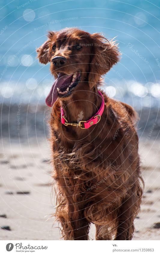 Strandsetter Hund Ferien & Urlaub & Reisen Freude Tier Strand Gesundheit Spielen Glück Schwimmen & Baden frisch Kraft Fröhlichkeit warten Lebensfreude Freundlichkeit Leidenschaft