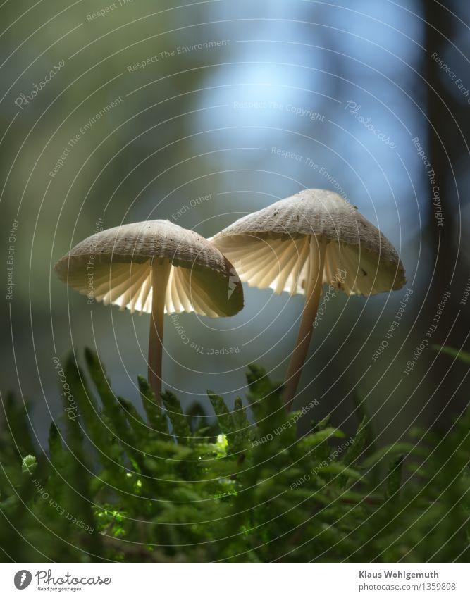 Traute Zweisamkeit mit wechselndem Hintergrund 2 Umwelt Natur Pflanze Himmel Herbst Moos Wald leuchten stehen Wachstum blau braun grün schwarz weiß Helmling