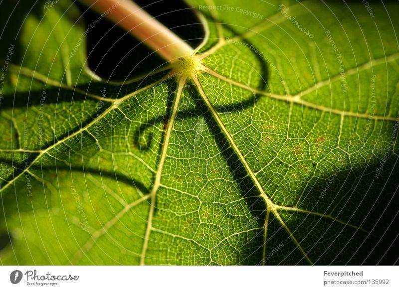 Beautiful Grape Leaf Natur Pflanze Sommer Ernährung Leben Hintergrundbild Design Frucht Bauernhof Symbole & Metaphern Image Ornament Single ornamental