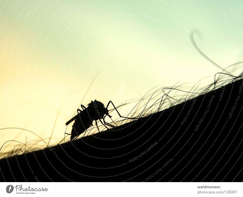 Gemeine Stechmücke stechen saugen Plage Mückenplage Insekt Blut Silhouette Haut Arme Haare & Frisuren Insektenplage Stich Insektenstich