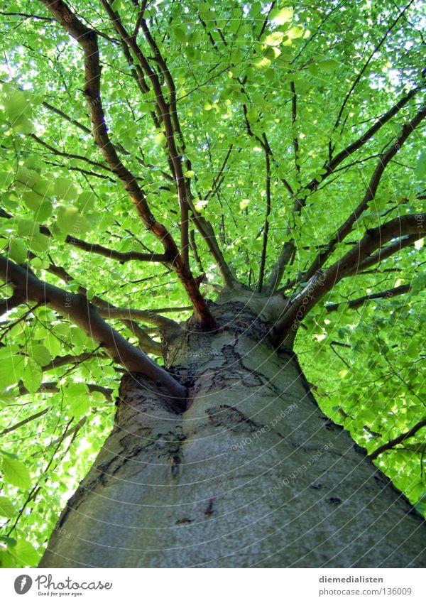 Stammbaum Natur Baum grün Blatt Wald hoch Ast Baumstamm Baumrinde Buche