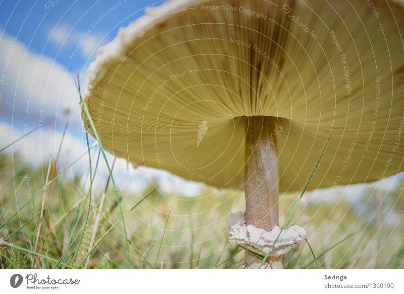 Der Sonne entgegen Lebensmittel Umwelt Natur Landschaft Pflanze Tier Herbst Garten Park Wiese entdecken Wachstum Pilz Pilzhut Pilzsucher Pilzsuppe Pilzkopf