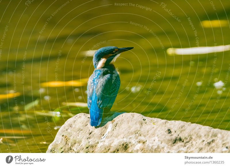 Eisvogel Natur Pflanze blau grün Sommer Sonne Landschaft Tier Umwelt Herbst Frühling Wiese See Vogel Wetter Wildtier