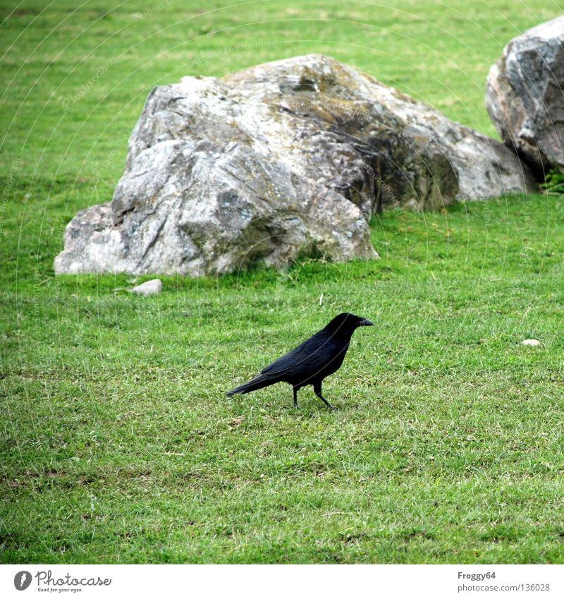Nachzügler Blume grün schwarz Tier Wiese Gras Frühling Vogel gehen laufen Luftverkehr Feder Zoo Schnabel Schwanz Gehege
