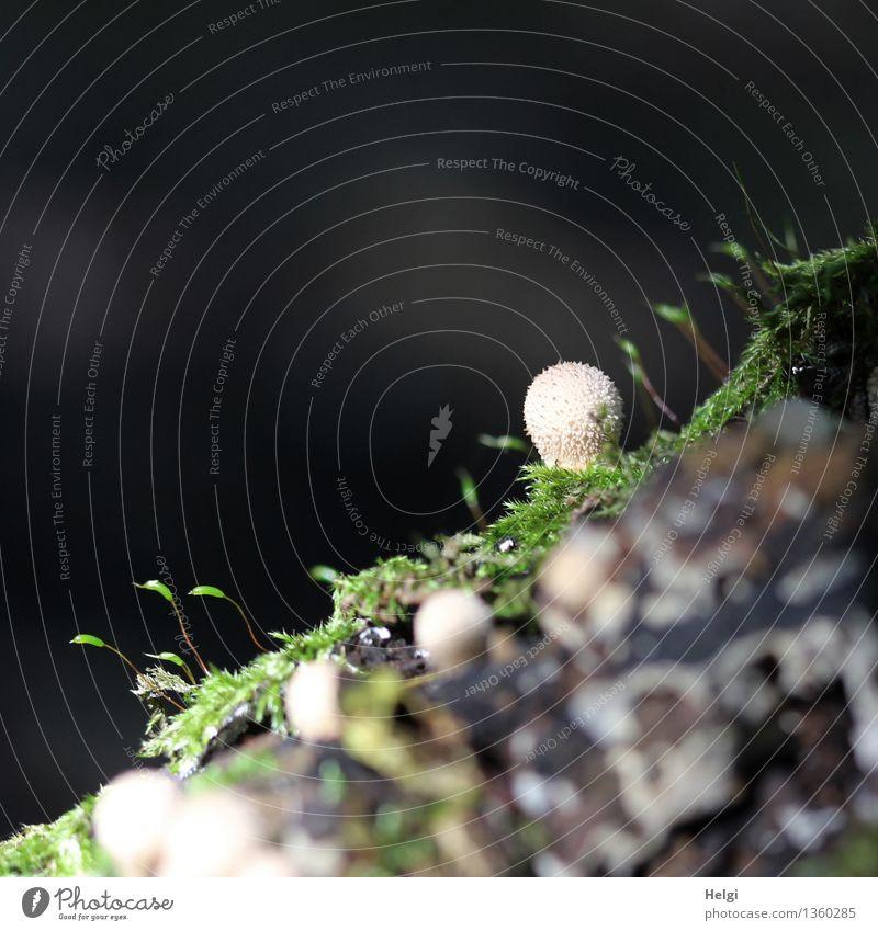 Winzlinge für Ini1110... Umwelt Natur Landschaft Pflanze Herbst Schönes Wetter Moos Pilz Flaschenstäubling Wald stehen Wachstum ästhetisch authentisch frisch